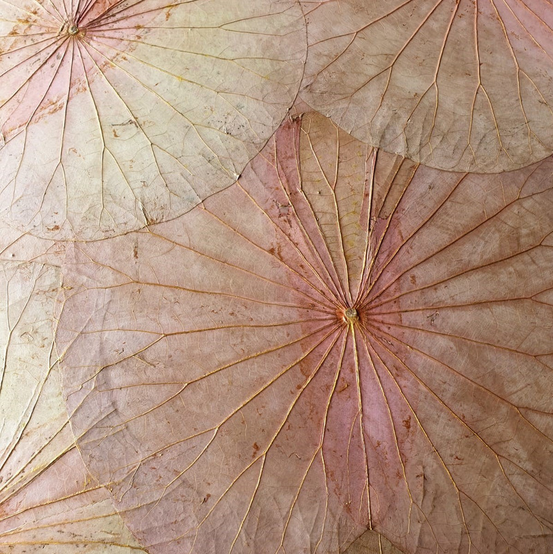 lotusblätter in rosé