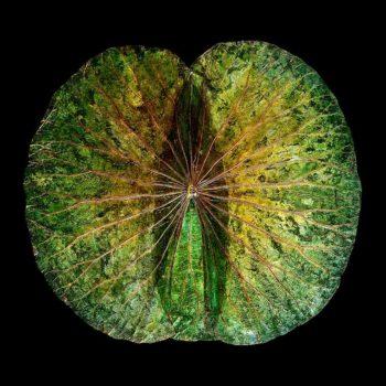 Lotusbild grün