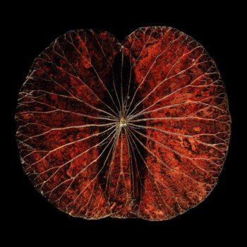 Lotusbild rot