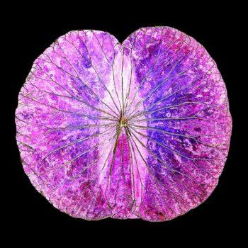 Lotusbild rosa